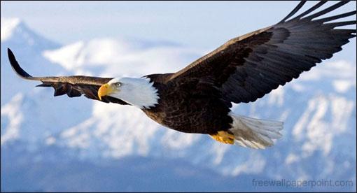 Eagle_Soaring